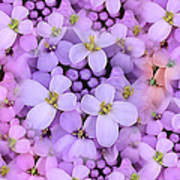 Candytuft Print by Mary P. Siebert