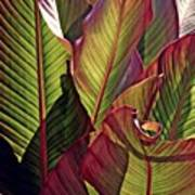 Canna Leaves 2   Art Print
