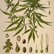 Cannabis Sativa  Art Print