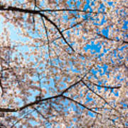 Canopy Of Cherry Blossoms Art Print