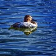 Canvasback And Blue Art Print