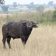 Cape Buffalo Eating Grass In Queen Elizabeth National Park, Ugan Art Print