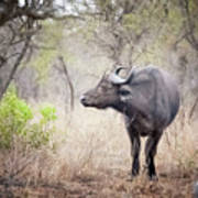 Cape Buffalo In A Clearing Art Print