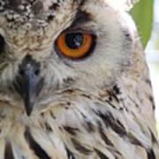 Cape Eagle-owl Art Print