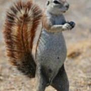 Cape Ground-squirrel  Art Print
