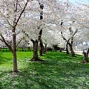 Capitol Gardens Cherry Trees Art Print
