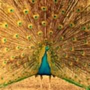 Captain Peacock Art Print