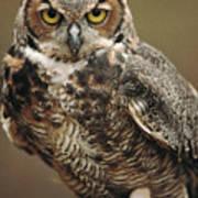 Captive Great Horned Owl, Bubo Art Print