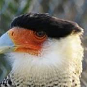Caracara Bird Art Print