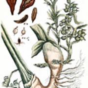 Cardamom, 1735 Art Print