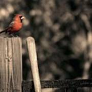 Cardinal At His Post Art Print