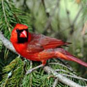 Cardinal Attitude Art Print