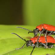 Cardinal Beetle  Art Print