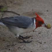 Cardinal Examining Food Art Print
