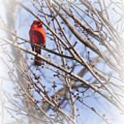 Cardinal I Art Print