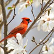 Cardinal In Magnolia Art Print