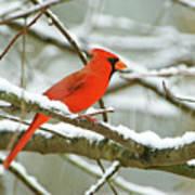 Cardinal In Snow Art Print