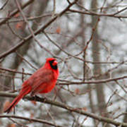 Cardinal In The Winter Art Print