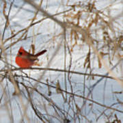 Cardinal In Winter 2 Art Print