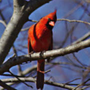 Cardinal On Watch Art Print