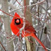 Cardinal Red Art Print