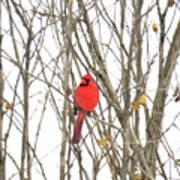 Cardinal Resting Art Print