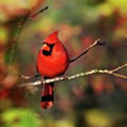 Cardinal Territory Art Print