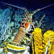 Caribbean Reef Lobster Art Print