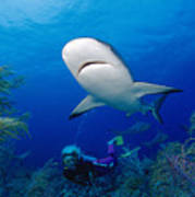 Caribbean Reef Shark Art Print by Dave Fleetham - Printscapes