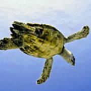 Caribbean Sea Turtle Art Print