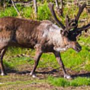 Caribou Antlers In Velvet Art Print