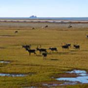 Caribou Herd Art Print