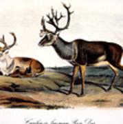 Caribou (rangifer Caribou): Art Print
