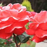 Carmel Mission Roses Art Print