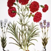 Carnation & Lavender, 1613 Art Print