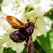 Carpenter Bee Art Print