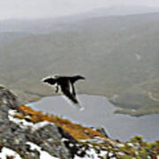 Carrawong In Flight Over Cradle Mountain Art Print