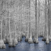 Carvers Cypress Ir 2 Art Print