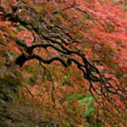 Cascading Japanese Maple Art Print