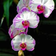 Cascading Orchid Beauties Art Print