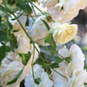 Cascading White Roses Art Print