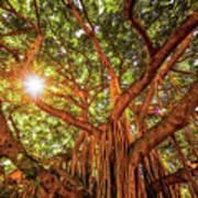 Catch A Sunbeam Under The Banyan Tree Art Print
