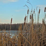 Cattails At Skymount Pond Pa Art Print