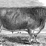 Cattle, C1880 Art Print by Granger