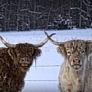 Cattle Cousins Art Print