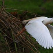 Cattle Egret Begins Flight With Nest Materials - Digitalart Art Print