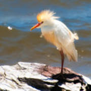 Cattle Egret In Breeding Plumage Art Print