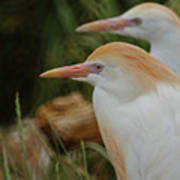 Cattle Egrets Dry Brushed Art Print