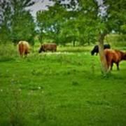 Cattle Grazing In A Lush Pasture Art Print