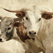 Cattle Steers Art Print